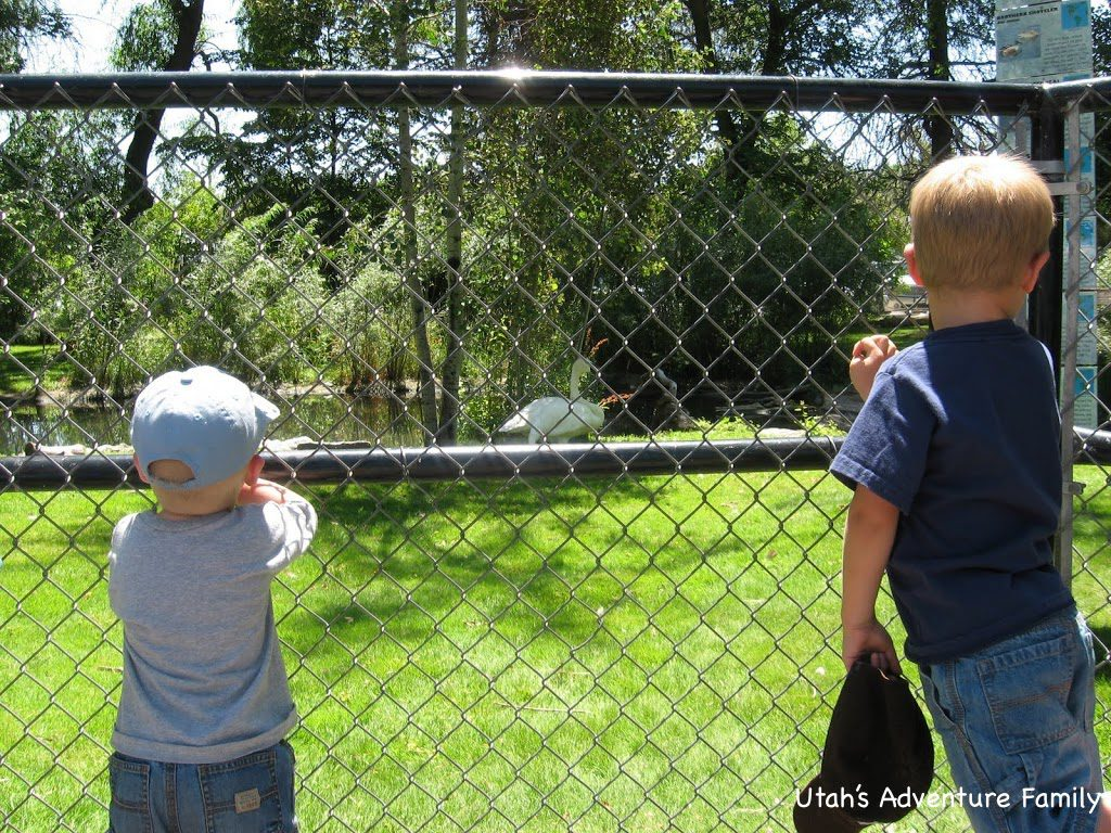 My boys checking out a swan. They were amazed it was standing on one foot.