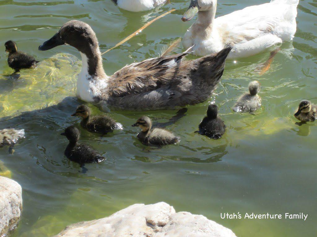 The ducklings were so cute!