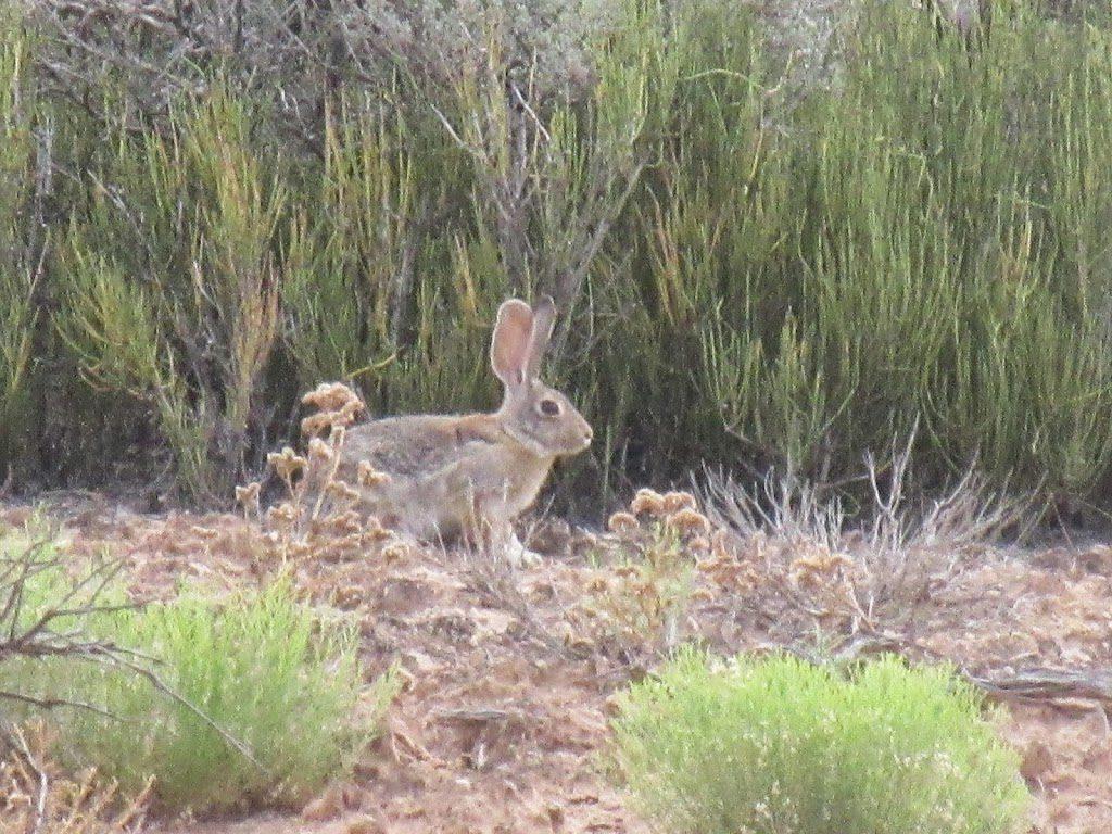 rabbit in bushes