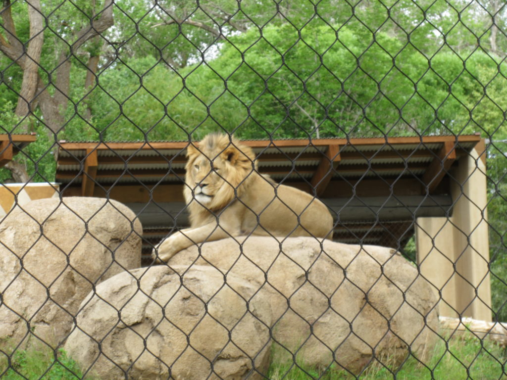 You can also view the lions through a large net on the other side.