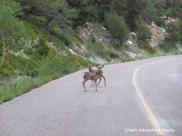 Two baby deer on the road in Great Basin National Park.