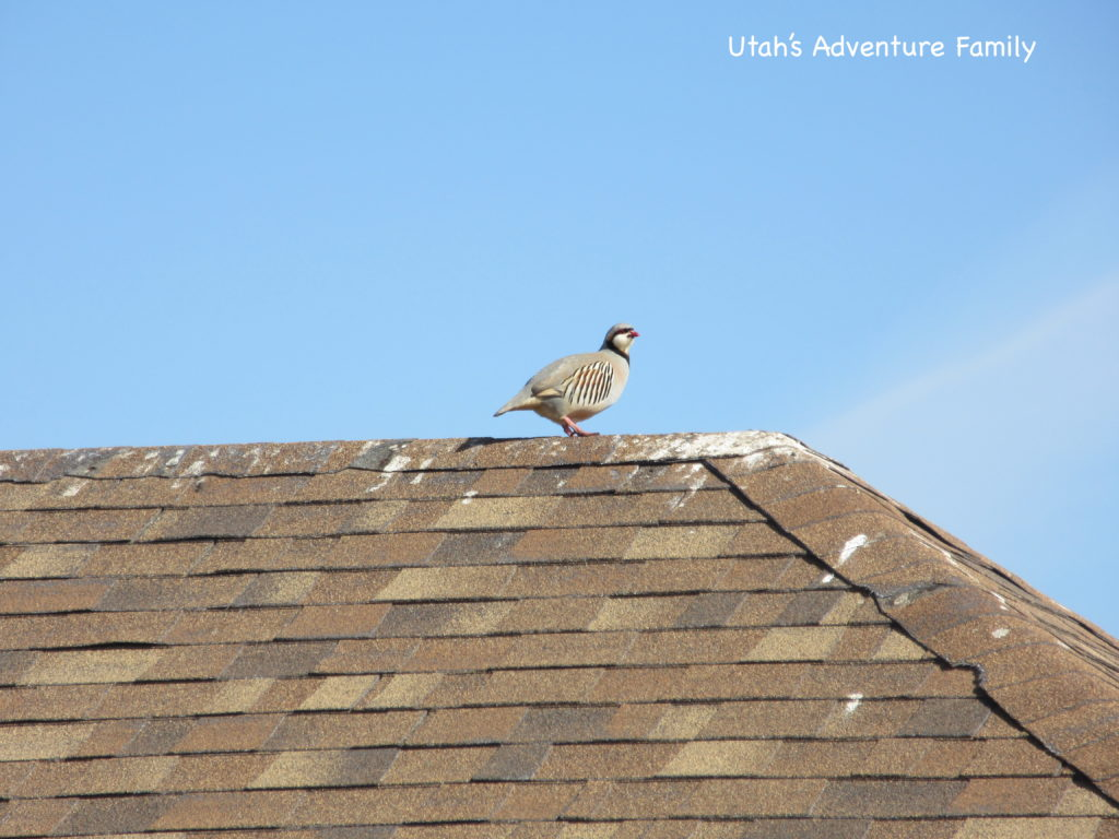 We saw tons of Chukars. They are a really fun sighting.