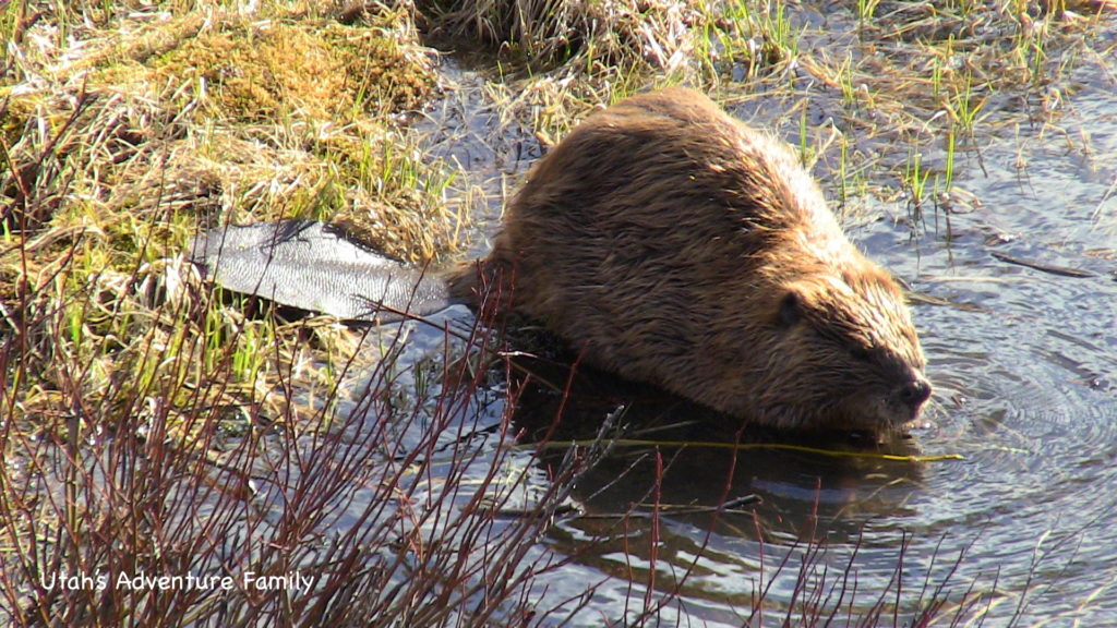 The beaver was right below us on Fishing Bridge. It was amazing.