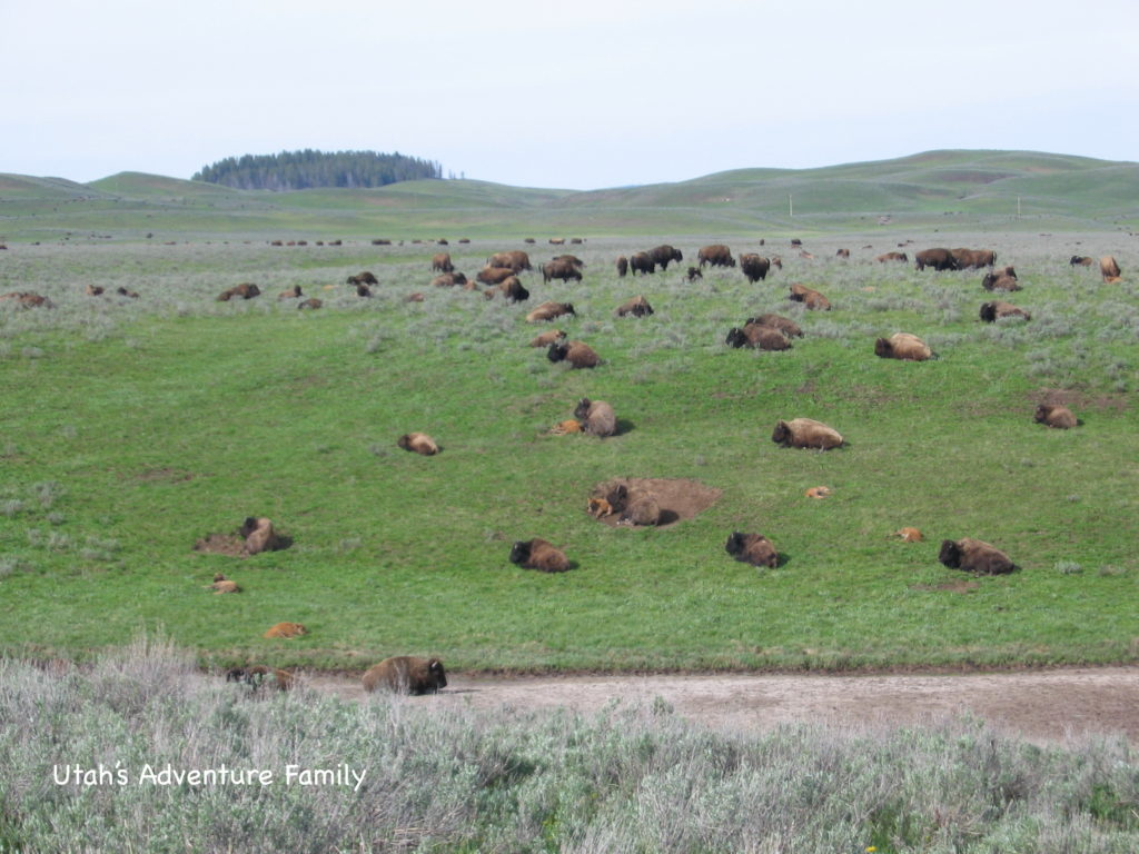 Seriously, bison are EVERYWHERE!