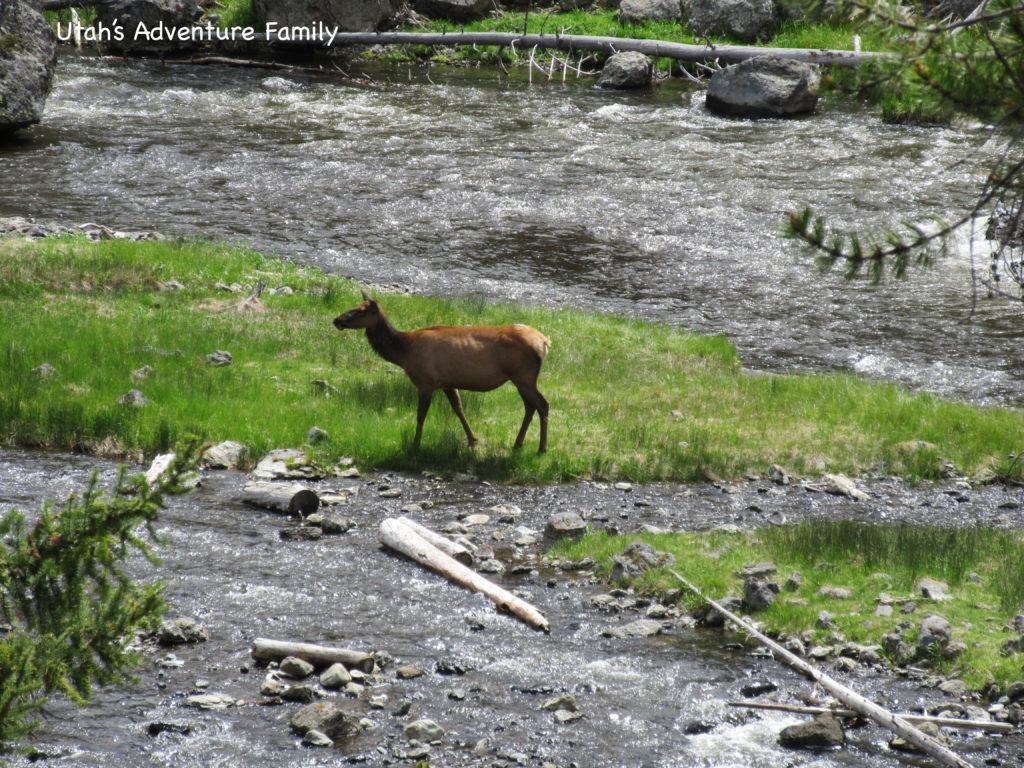 Mommy Elk