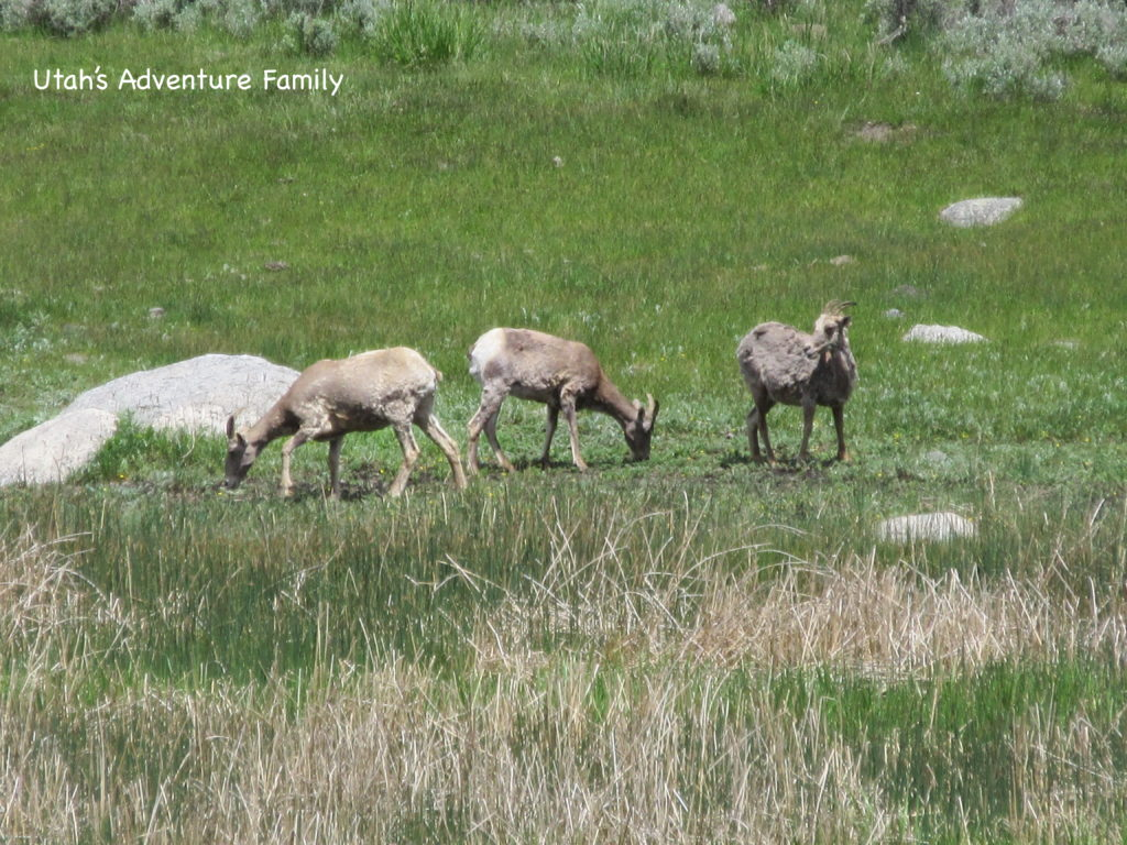 We were lucky and saw a few bighorn sheep by the side of the road. The last time we saw them they were about 5 miles away up on a mountainside--tiny specks.