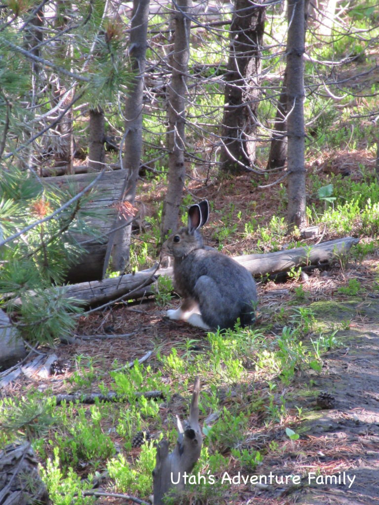 The cottontail rabbit that we saw.