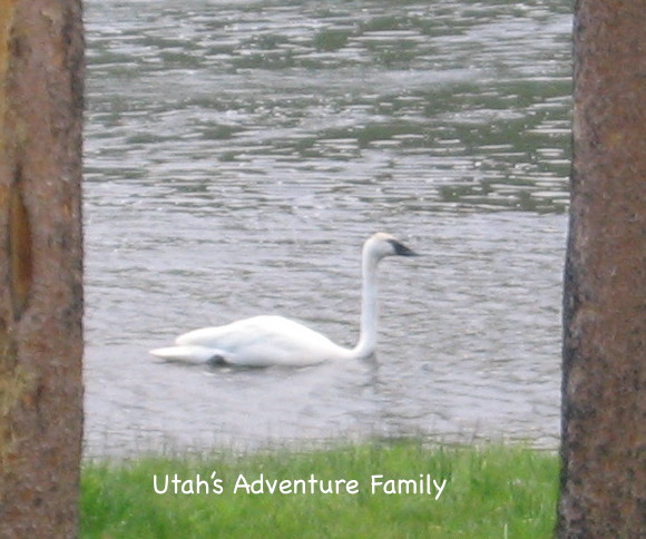 We haven't seen swans in about 6 years. We see them down by Jackson Hole if we head that way, but they aren't visiting Yellowstone as much now.