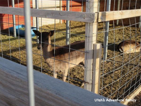 Scipio Petting Zoo