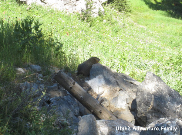 We saw the Yellow Bellied Marmot playing by the rocks near the trail.