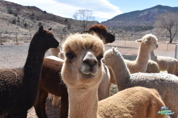 Circle Cliff Ranch Alpacas Utah S Adventure Family